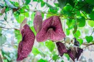 Chinese Pipe Tree 10 Seeds, Aristolochia Debilis - Unusual
